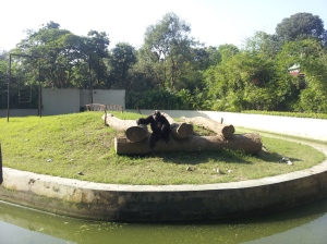 Gorrila at the Kolkata Zoo