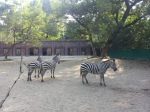 Zebras at the Kolkata Zoo