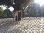 Giraffe at the Kolkata Zoo