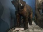Polar Bear at Indian Museum