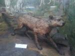 Cheetah at Indian Museum