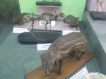 Chevrotain at Indian Museum