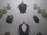 Turtles at Indian Museum